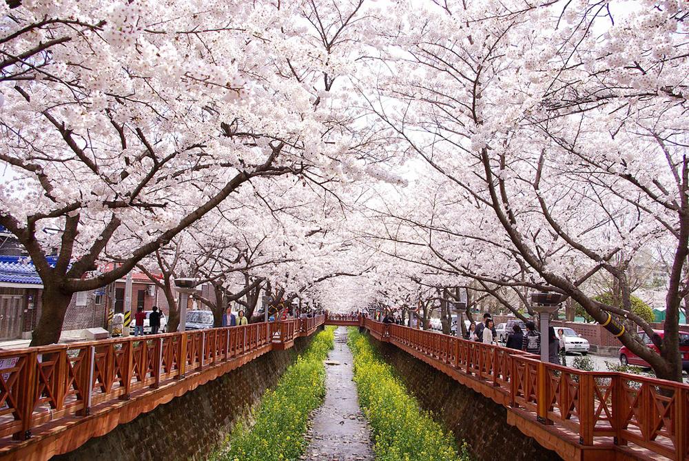 thiên đường hoa anh đào Hàn Quốc