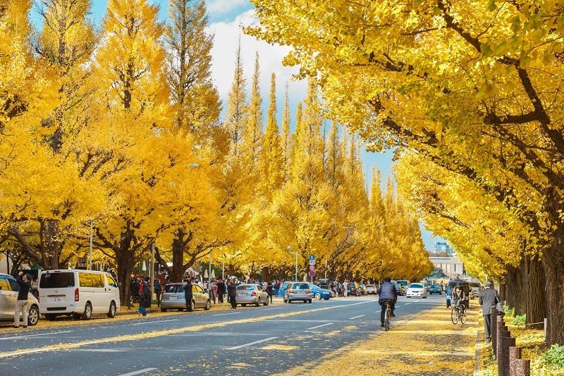 Đại lộ Icho Namiki phủ đầy lá vàng