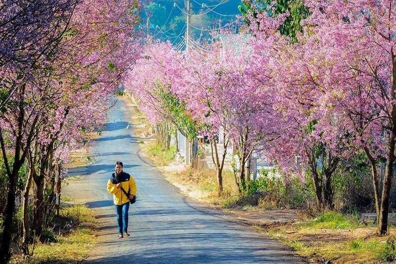 Hoa mai anh đào nở rộ khi tiết trời sang xuân